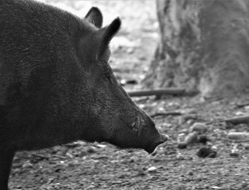 Aktuelles zur Afrikanischen Schweinepest