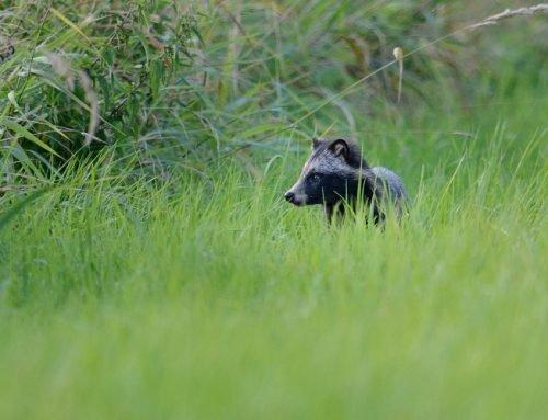 Wildtier-Kataster: Erfassung von Dachs, Rotfuchs und Marderhund